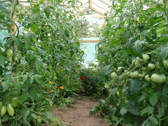 tomaten-zeppelingarten2015