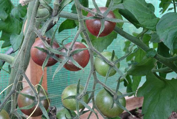 rote-tomaten-zeppelingarten