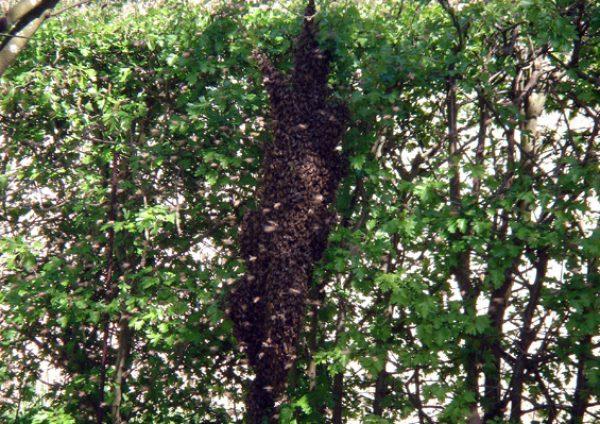 Die Bienen beginnen sich in einer Traube zu sammeln. Bild: Jens Brehl CC BY-NC-SA 4.0