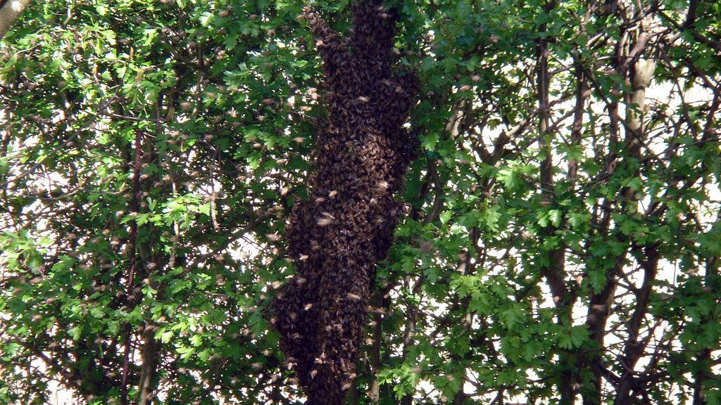 Bienenschwarm im Zeppelingarten Fulda